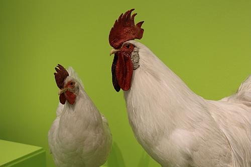 Die Langhorn-Henne und der Langhorn-Hahn – hier als Präparat aus dem Naturkunde-museum Reutlingen – gehören zu einer Rasse, die Kleintierzüchter pflegen. Foto: Stadtmuseum Tübingen